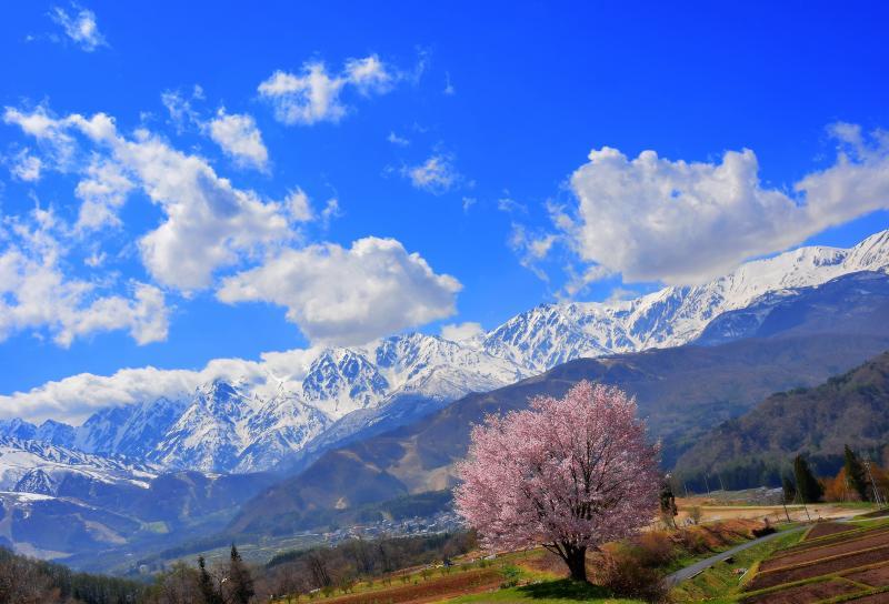 [ 爽快 ]  雄大な北アルプスを一望できる高台にある桜。青空が似合います。