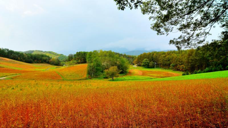 [ 秋の中山高原 ]  中山高原全景。なだらかな丘が特徴。中央の一本桜とカラマツ林の紅葉。