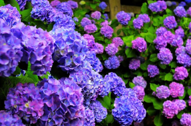 [ 鈴なりのあじさい ]  紫からピンクのグラデーションが綺麗でした。