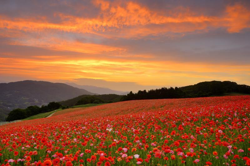 [ 夕焼けに染まるポピー畑 ]  天空のポピー畑が夕焼け色になっています。多くのカメラマンが夕暮れとポピー畑を狙って熱心に撮影していました。