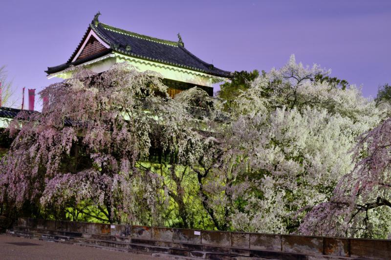 [ 上田城千本桜まつり ]  満開の桜に包まれる石垣。咲き誇る桜が深い堀を埋め尽くします。