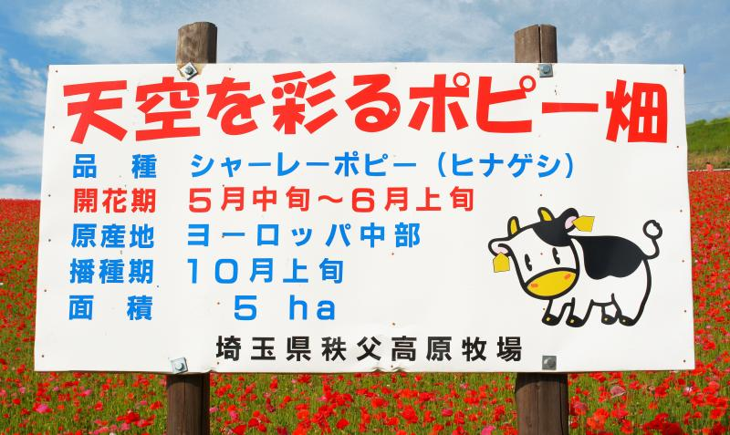[ 開花時期 ]  5月中旬から6月上旬の開花です。ここのポピーはシャーレーポピー(ひなげし)という品種です。