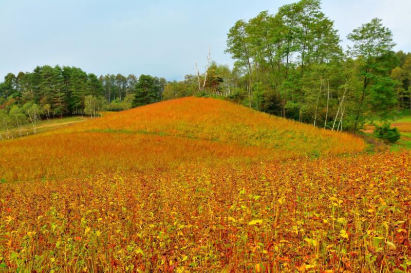 [ 蕎麦の丘 ]  丘一面のそば畑。