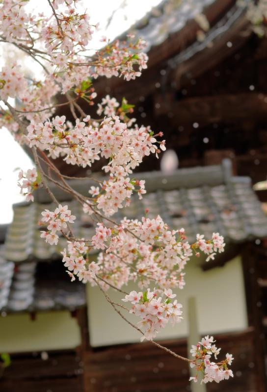 [ 桜舞う ]  穏やかな風が桜を揺らし ヒラヒラと舞い散る花びら。