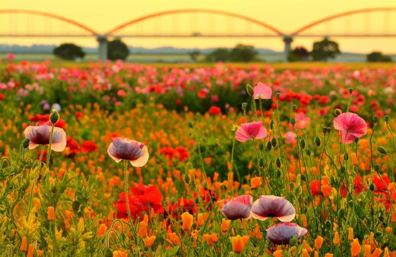 [ 水道橋とポピー ]  日本一長い水道橋を背景に入れることができます。