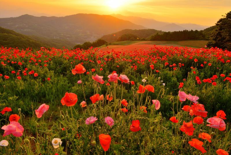 [ ポピー畑の夕暮れ ]  秩父の山並みの向こうに陽が沈みます。夕焼け色に染まるポピー畑の黄昏風景。