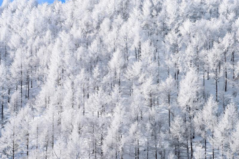 [ 霧氷の森 ]  繊細な霧氷に包まれるカラマツ。氷点下の冷え込みで樹々が雲や霧に覆われると霧氷が成長します。