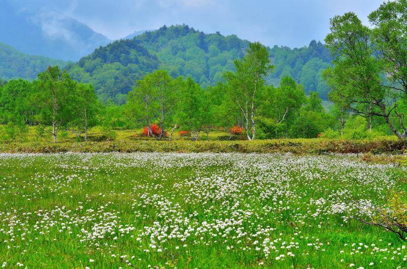 [ 田ノ原湿原のワタスゲ ]  一面にワタスゲの絨毯が広がっています。シラカバやレンゲツツジも美しい。