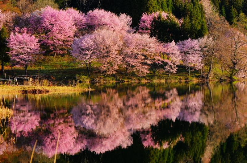 [ 中綱湖 中心部 ]  桜が密集している部分。見る角度によって違った趣があります。風が吹き揺らぐ湖面。