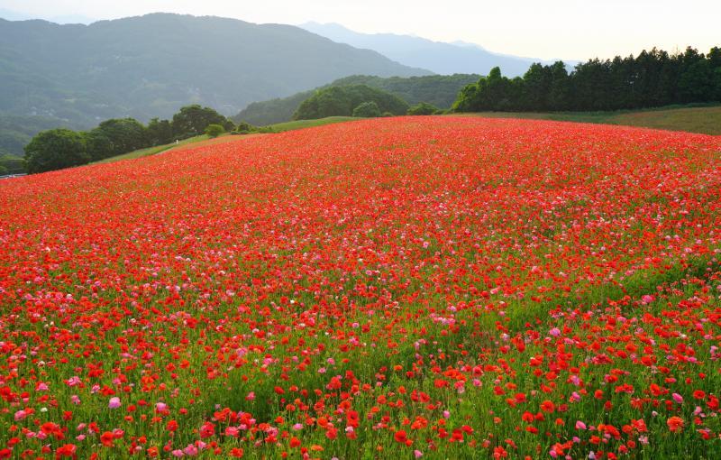 [ 丘を彩るポピー ]  ポピー畑を横から見ると起伏が美しいラインになっています。