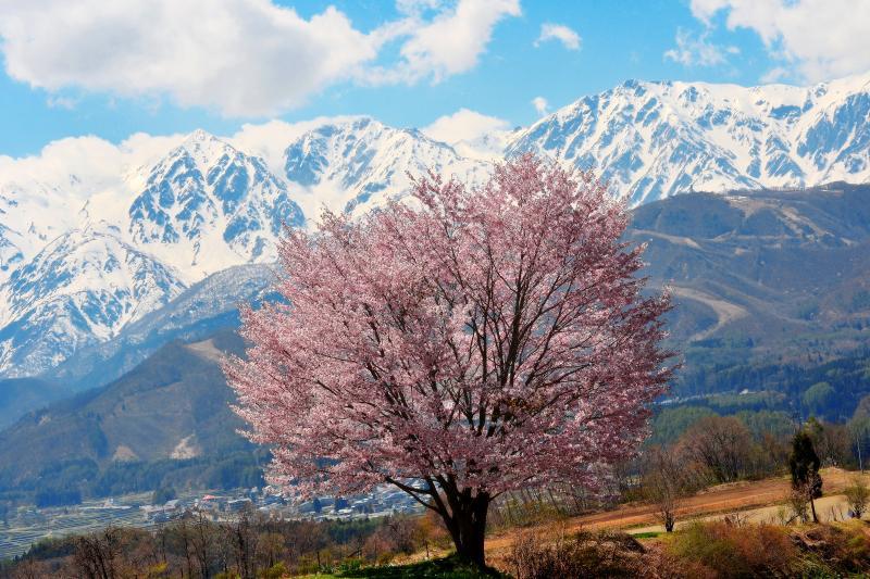 白馬三山と一本桜 | 残雪の北アルプスの迫力。信州 白馬村の春。