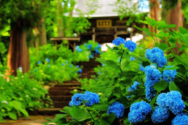 [ 高源院 参道 ]  紫陽花に包まれた石段が山門へと続きます。ブルーのアジサイが印象的でした。