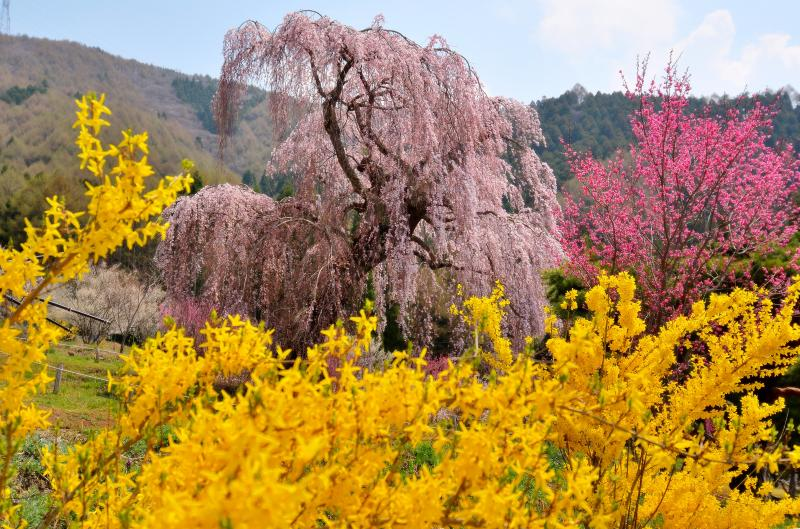 [ 色彩豊かな春 ]  黄色やピンク 花が咲き競っています。
