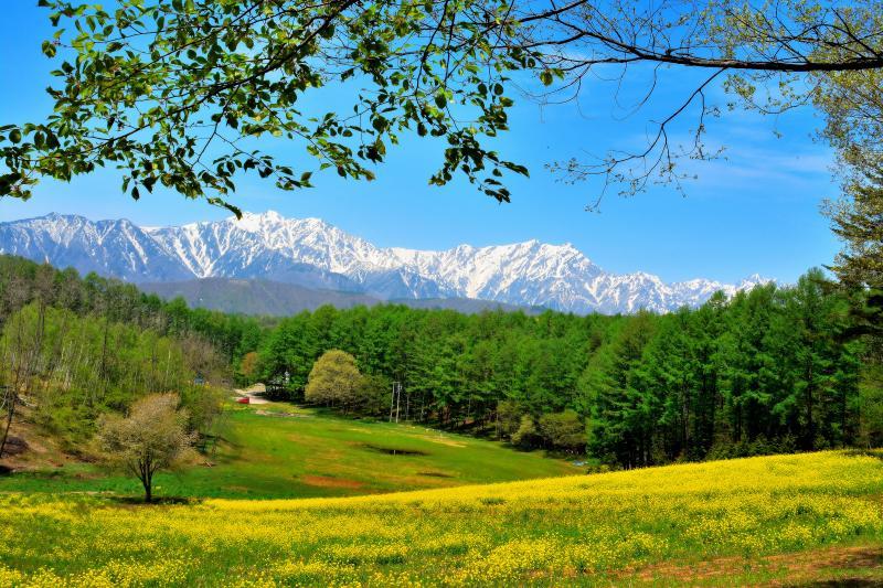 さわやか信州 | 北アルプスを望む菜の花の丘に立つ一本桜。新緑の頃には見頃を過ぎていました。