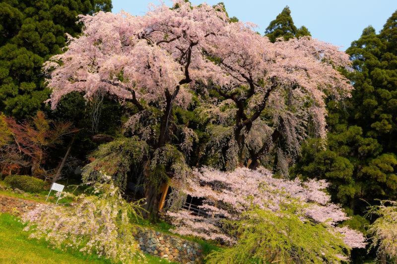 [ 観音堂の夫婦桜 ]  背の高い枝垂桜が二本並び立つ。