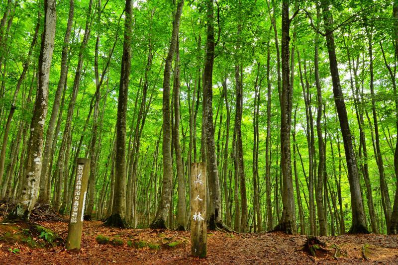 [ 美人林 ]  数えきれないブナの木が立ち並ぶ。