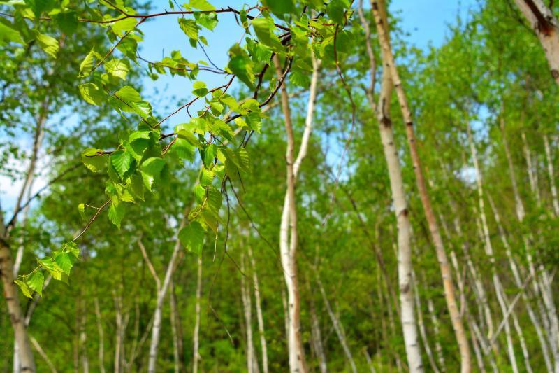 [ 若葉 ]  樹々が芽吹き、鮮やかな新緑。