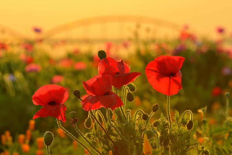 [ 赤の舞 ]  夕陽の中、赤いポピーが風に揺られていました。つぼみが良い味を出してくれています。