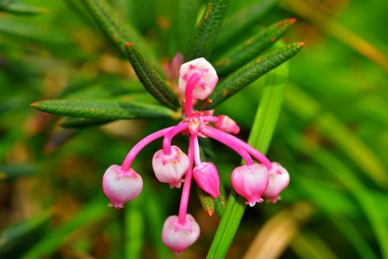 [ ヒメシャクナゲ ]  小指ほどの小さな花です。