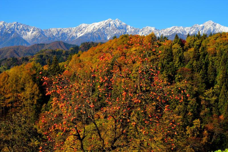 [ 秋の里山風景 ]  冠雪した北アルプスと鈴なりの柿。小川村には「柿の木」が沢山あります。