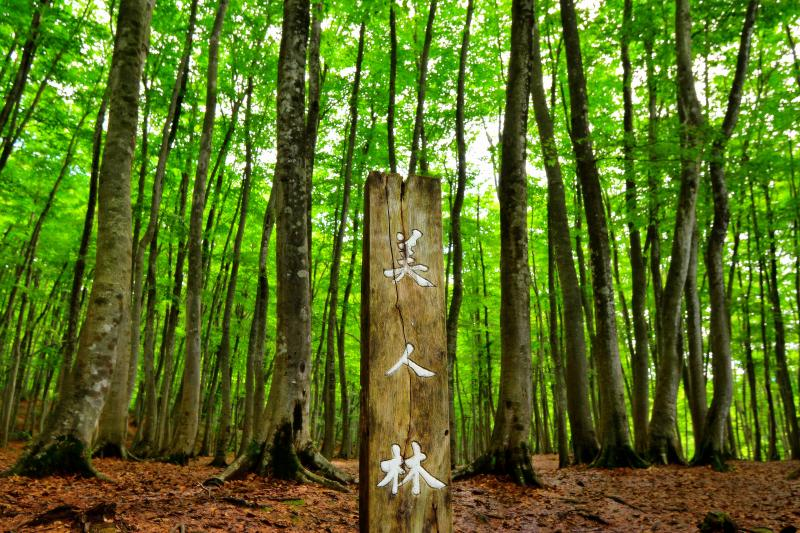 美人林 | ブナの森と落ち葉の絨毯。