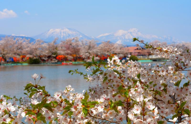 [ 臥竜公園から春の山々を望む ]  竜ヶ池には桜並木が連なり、その奥には残雪の北信五岳が見えます。左が黒姫山、右が妙高山。