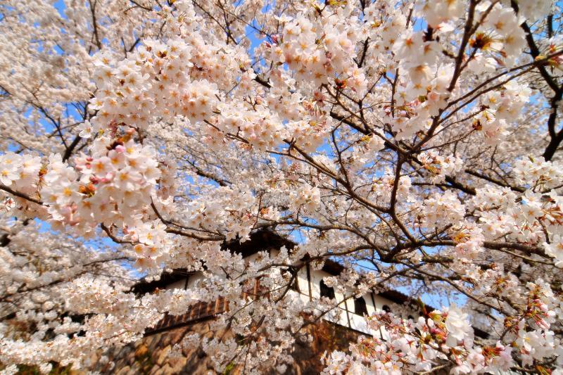 [ 千本桜 ]  本堂を囲む白壁と立派な石垣、咲き誇る桜。和を感じる空間です。