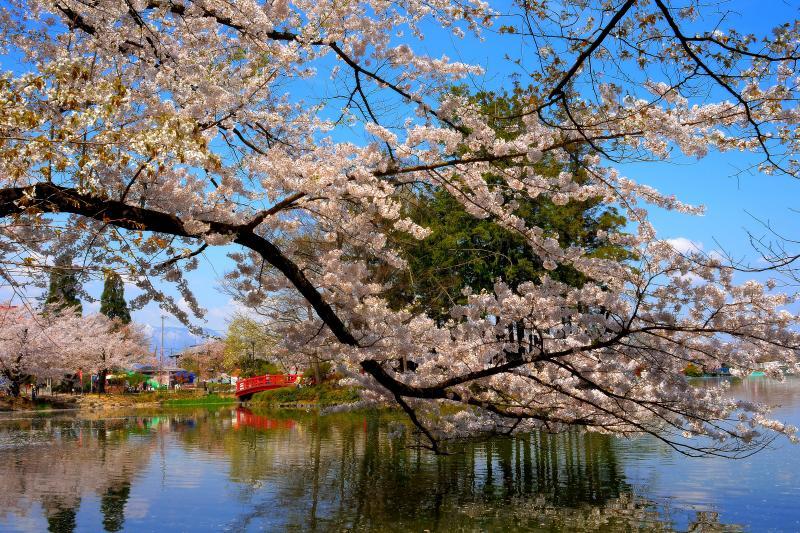 [ 水面を覆い尽くす桜 ]  大胆に迫り出す桜の枝。満開の桜が重そうです。