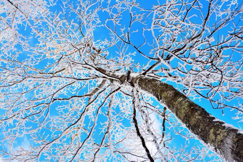 [ 霧氷の成長条件 ]  最も寒い「大寒」の前後。氷点下の気温で木が霧や雲に包まれる。風上側の枝に氷が付着し成長する。標高が高いと常に氷に覆われた樹氷に、繊細な霧氷はそれ以下の標高の山。