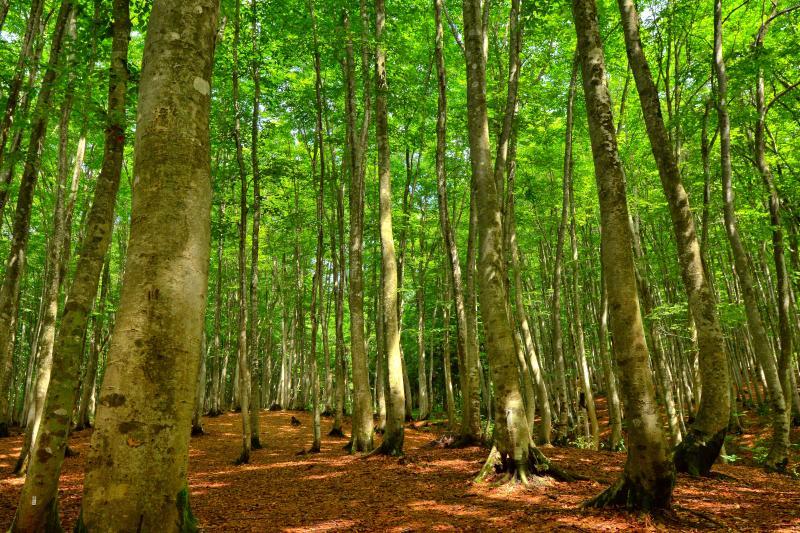 [ 木漏れ日 ]  ブナ林に射し込むやさしい光。