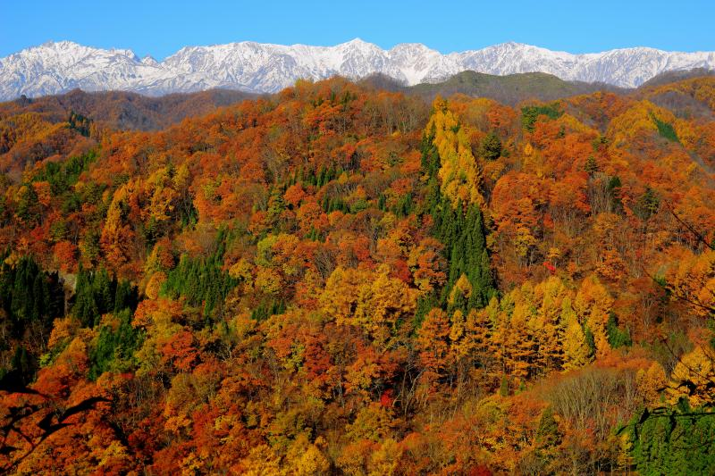 信州 小川村 錦秋| 深まる秋 色鮮やかな紅葉に包まれた小川村。快晴で空気が澄んだ日 冠雪した北アルプスが一望できました。