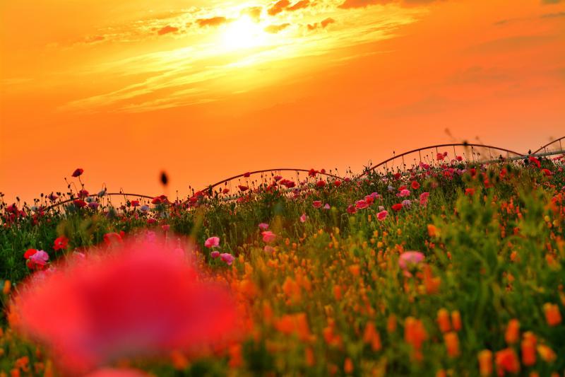 [ 夕日を眺めて ]  美しい夕陽。ポピーたちも綺麗な夕陽を眺めているようでした。