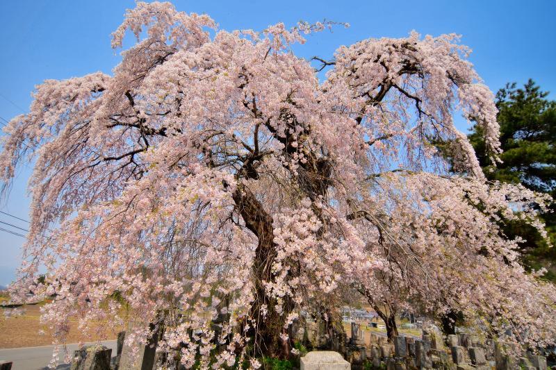 [ 東照寺の枝垂桜 ]  枝振りが良く姿が美しい桜です。