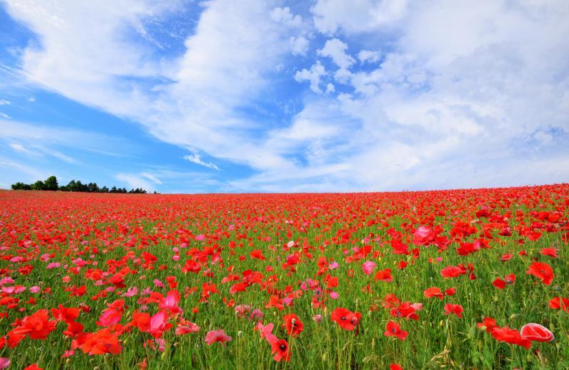 [ ポピーの地平線 ]  どこまでも続いているようなポピー畑。赤い絨毯と空と雲のハーモニー。