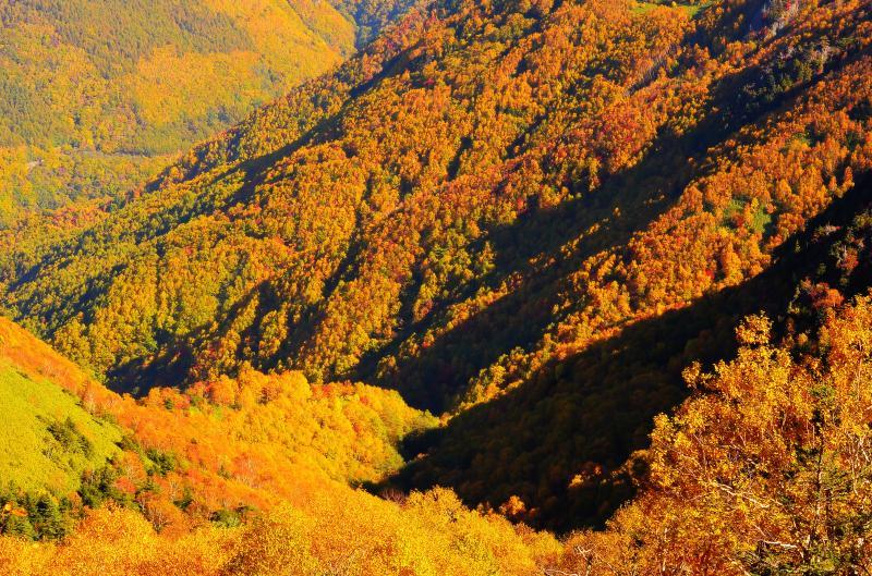 [ 信州 高山村 錦秋 ]  朝陽で輝く紅葉。谷を秋色に彩る樹木。