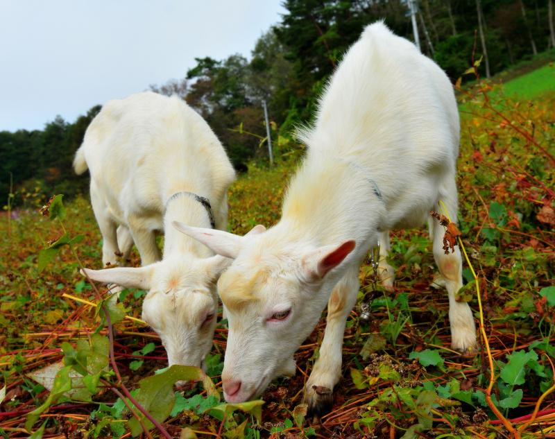 [ 食欲旺盛 ]  仲良く食事をするヤギ