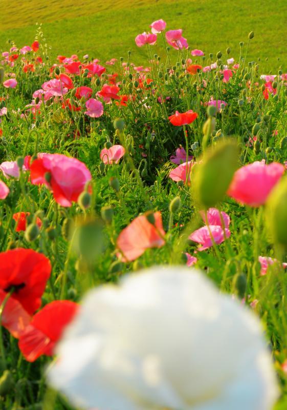 [ ポピー畑の中に ]  主役となるポピーを探すのが楽しい。黄・白・ピンク・赤・緑の色の配置を考えます。