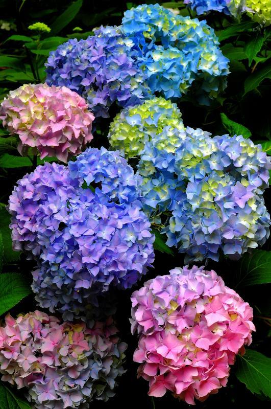 [ 紫陽花七変化 ]  様々な色合いのアジサイが咲いている場所もあります。