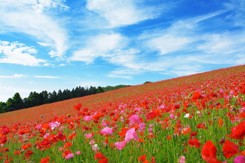 [ 青空を流れる白い雲 ]  ポピー畑を横から撮影。大空へと続く赤い地平線が斜めになり違った印象の写真になります。