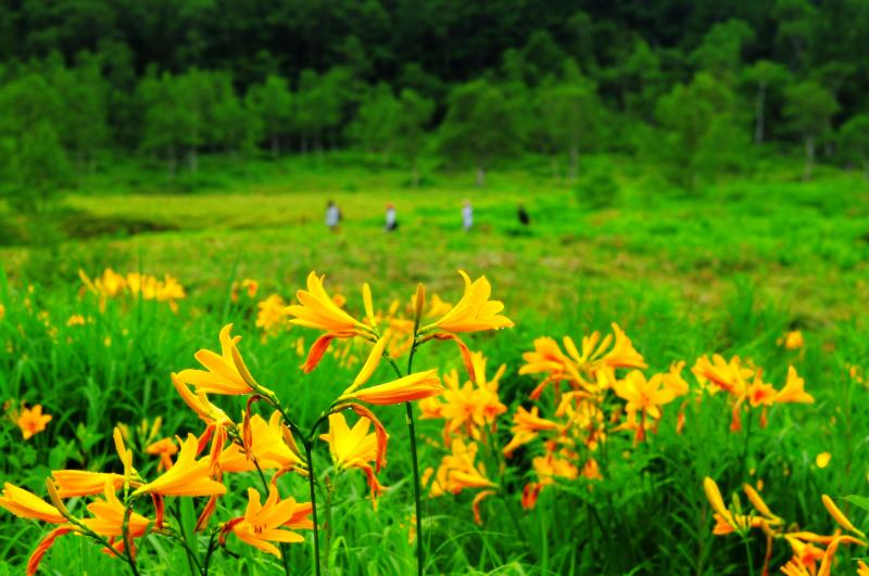 田ノ原湿原 ニッコウキスゲ| 湿原周辺に咲くニッコウキスゲ