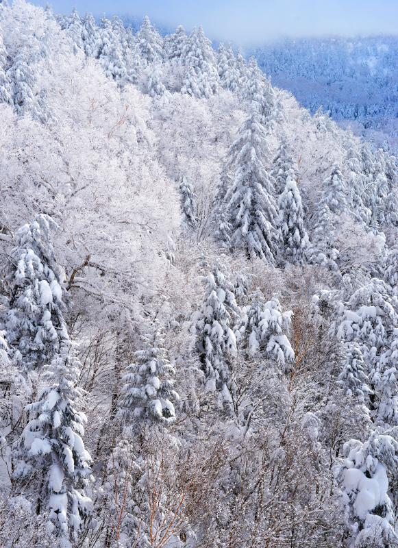 [ 針葉樹と落葉樹 ]  日中の最高気温が氷点下の真冬日。霧が晴れると落葉樹には霧氷が。志賀高原にある針葉樹は樹氷に覆われます。