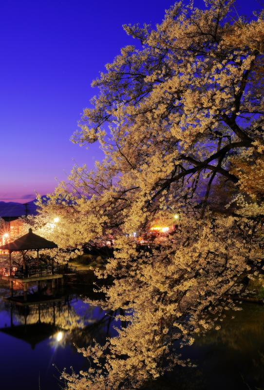 [ 夕暮れ桜 ]  日没後、次第に空が暗くなりライトアップされた桜が輝いていきます。池に浮かぶ東屋は人気の絶景ポイントです。