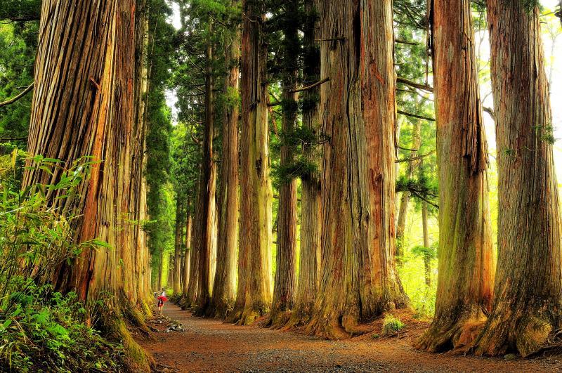 [ 戸隠神社奥社 杉並木 ]  随神門をくぐるとクマスギの巨木が立ち並び 圧倒的な空間が広がります。