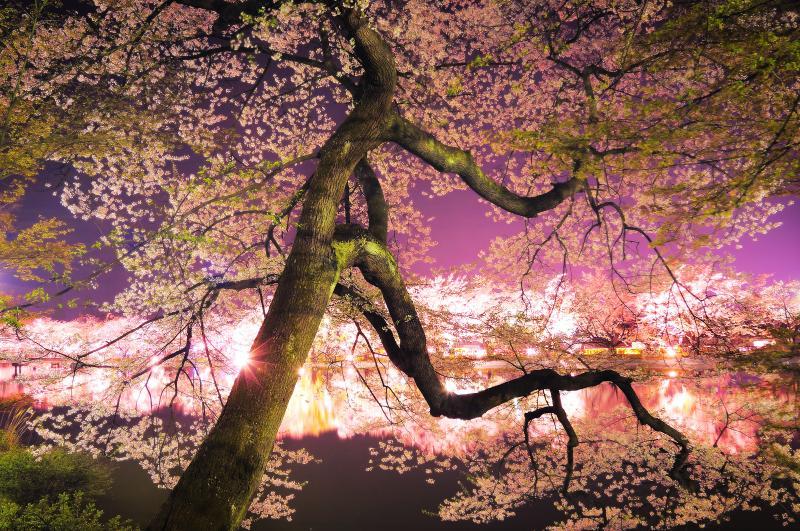 雅| 咲き誇る桜の重みに耐える幹が印象的。