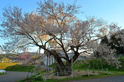 黒川桜林のエドヒガン|