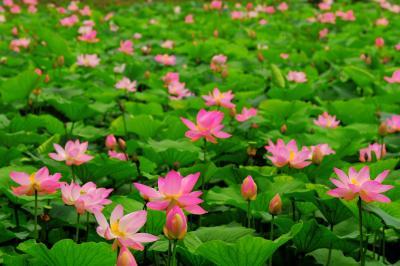 [ 蓮の群生 ]  ここは蓮の花の数がとても多い場所です。静かな場所でゆっくりとした撮影を楽しむことができました。