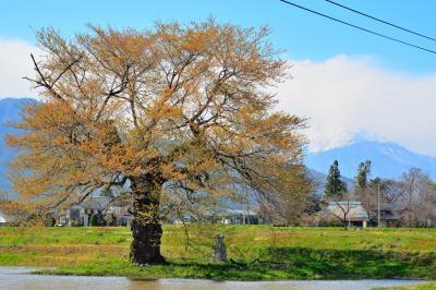 須沼の一本桜| 残雪の北アルプス爺ヶ岳と水田の脇に立つ須沼の一本桜。写真は見頃を過ぎ落下盛んの状態。
