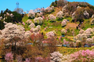咲き誇る| 春の信州 小川村 中心部。