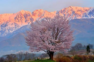 信州春風景| 桜色に染まる白馬三山。右から白馬岳、杓子岳、白馬鑓ヶ岳。