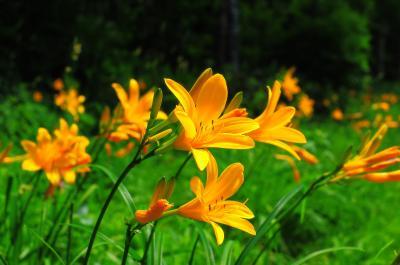 蓮池スキー場| 日差しを受け輝く夏の花。
